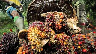 Thumbnail for Sustainable Palm oil production