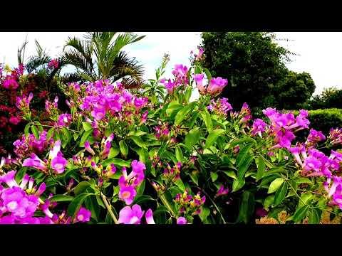, title : 'Beautiful Garlic Vine Flowers | Garlic Vine Australia
