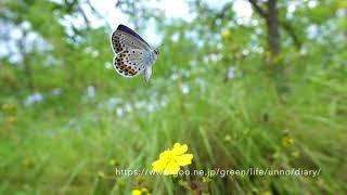 絶滅危惧種ミヤマシジミの飛翔Lycaeidesargyrognomom