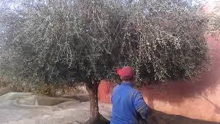 preview picture of video 'Machine à rècolter les olives(vibreur)AIMA(italie).tel.0620205204(mostafa)'