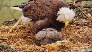 Decorah Eagles North DN9 eating 2 whole fishes in a short time 04 29 2019