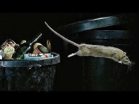 Как устроено крысиное общество ?