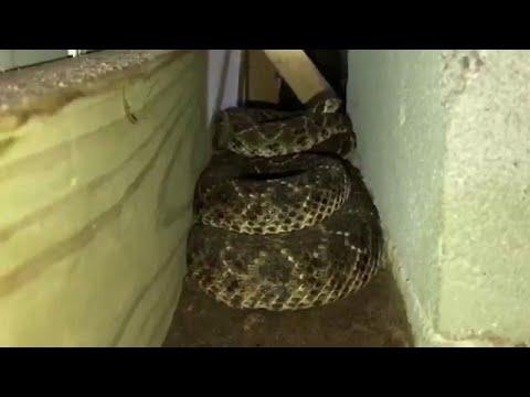 العرب اليوم - شاهد: 45 أفعى مُجلجلة تعيش أسفل منزل في تكساس