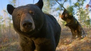 Black Bear Scent Marking | BBC Earth