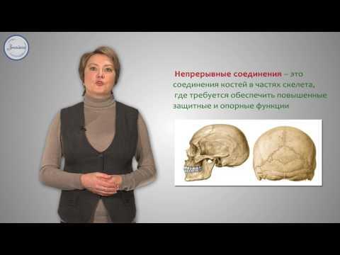 Скелет. Строение, состав и соединения костей