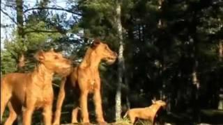 Hangerbell Kennel presents: Irish Terrier