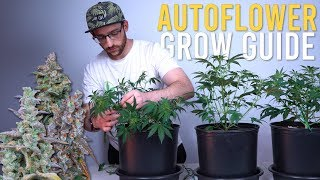 TRAINING BIG AUTOFLOWERS for HALF POUND YIELD: 180W CLOSET GROW GUIDE