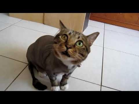 貓咪撒嬌的叫聲