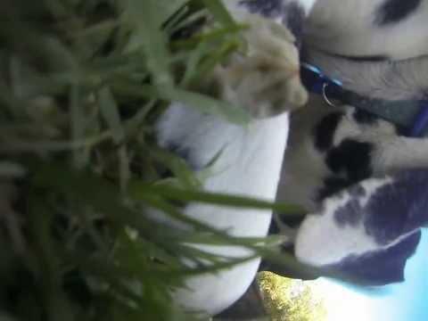 GoPro: Dalmatian Puppy Play