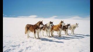 Почему в Антарктиде запрещены собаки?