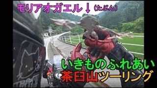 モリアオガエル#59.いきものふれあい茶臼山ツーリングウシ