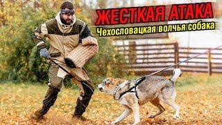 Жесткая атака собаки - Зрелищные моменты | Чехословацкий влчак