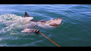 How to film a breaching Great White Shark
