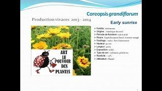 Coreopsis grandiflorum Early sunrise: plante vivace
