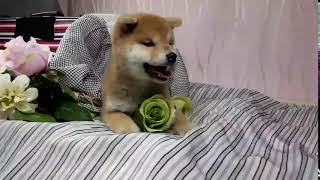 Shiba Inu Breeder in LOS ANGELES, CA, USA