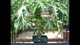 How To Grow Papayas In Containers Indoors - Complete Growing Guide