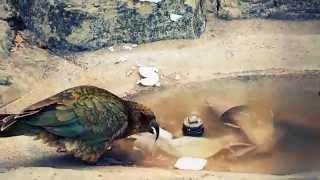 Funny Kea Bird is Super Cute