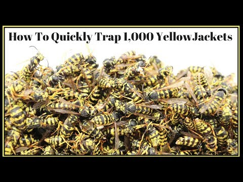 How To Quickly Trap 1,000 YellowJackets In Just Hours.