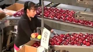 công nghệ trồng và thu hoạch táo Mỹ thật ngưỡng mộ