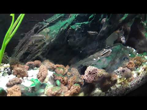 Avannotti pelvicacromis pulcher 7