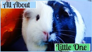 All About Little One | Meet My Guinea Pigs