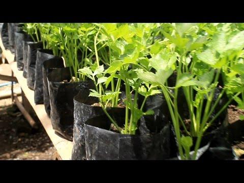 Video Pertanian Organik - Budidaya Tanaman Seledri Skala Rumah Tangga