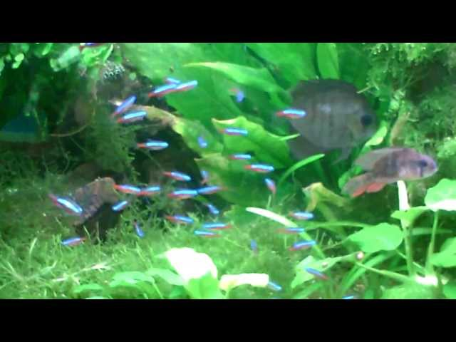 Planted tropical fish tank discus cichlid frontosa tetra crystal red cherry shrimp crs