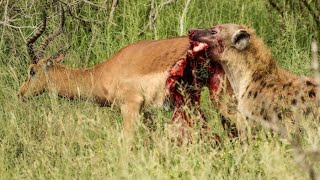 Half An Impala Tries Escaping Hyena