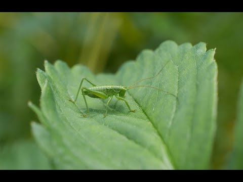 The Green Grasshopper (Soviet Songs in English)
