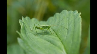 The Green Grasshopper (Soviet Songs in English) - В траве сидел кузнечик (на англ. языке)