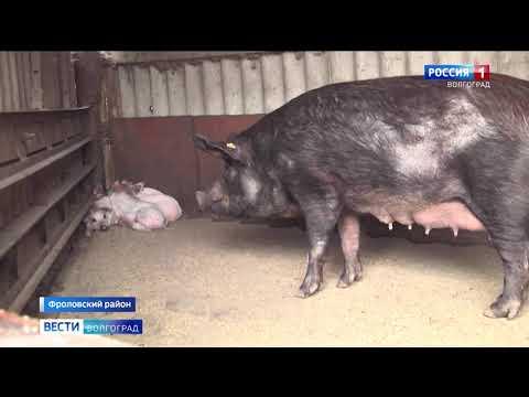 Управлением Россельхознадзора проведены проверки хозяйств с целью предотвращения распространения африканской чумы свиней в Волгоградской области
