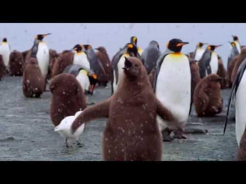Adventures of the Penguin King Trailer