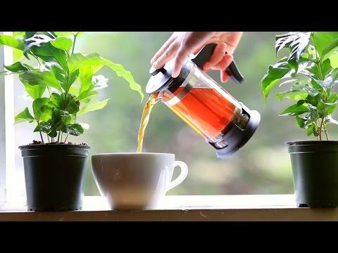 How Coffee Leaf Tea is Revolutionizing Coffee Forever | Wize Monkey Coffee Leaf Quest: Short Version