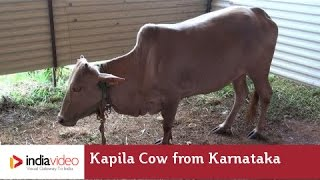 Kapila Cow - a rare breed of cow from Karnataka