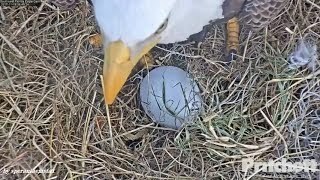 SWFL Eagles ~ First Egg! Harriet's Labor & Delivery 11.19.17 (2)