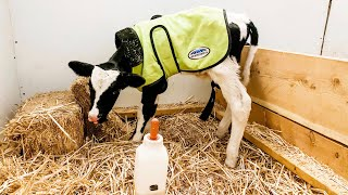 Bringing Home a Bottle Calf (or two) | Supplies You Need