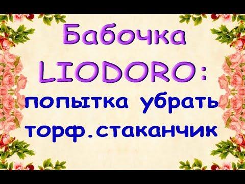 ОРХИДЕЯ-бабочка LIODORO:просто убрать ТОРФ.СТАКАНЧИК или ПЕРЕСАДИТЬ...