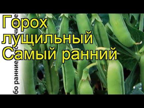 Горох (Cамый ранний). Краткий обзор: Горох описание характеристик, где купить семена