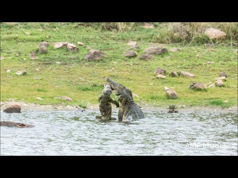 تمساح يفترس آخر