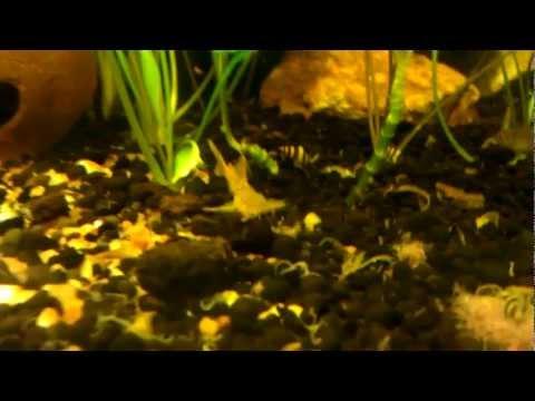 Pseudolaguvia austrina