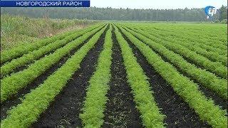 В Новгородском районе борются за картошку, морковь и свеклу