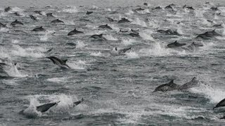 Thousands of Dolphins near SoCal Coast