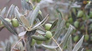 تأثيرالقطف المبكر على زيت الزيتون