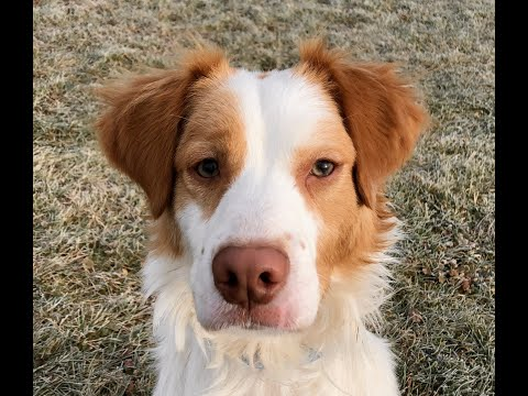 River, an adopted Brittany Spaniel Mix in Kittanning, PA