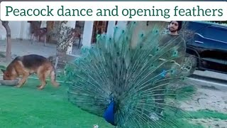 Beautiful green peafowl peacock open feathers || Green Peacock dance display || peacock sound