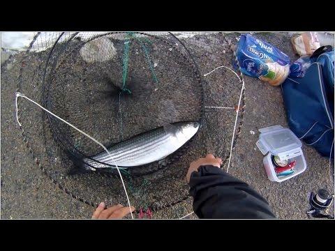 Multefiskeri med brød i havneområde