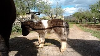 preview picture of video 'Cria de poni (Caballos en miniatura).'