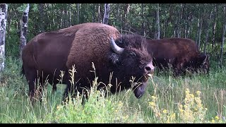 Wildlife Photography-Bison Rut 2020 CLOSE CALL-Jackson Hole/Grand Teton Park/Yellowstone-Live Sound!