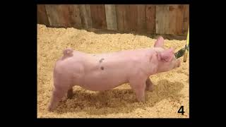 Market Swine Class