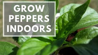 How To Grow Peppers Indoors Easily - Jalapeno, Serrano, Habanero, And More